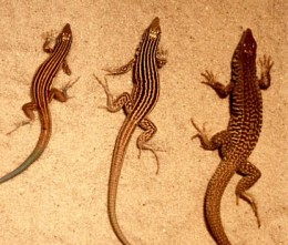 Parthenogenetic lizard species.