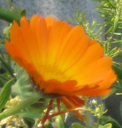 Photo: orange marigold. Marigolds will self seed but if they grow in places you do not want them to transplant them or pull them out of the garden. they are a beneficial plant for insects.
