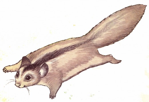 The sugar glider can glide from tree to tree by extending its legs and stretching a flap of ski that allows it to glide without falling.