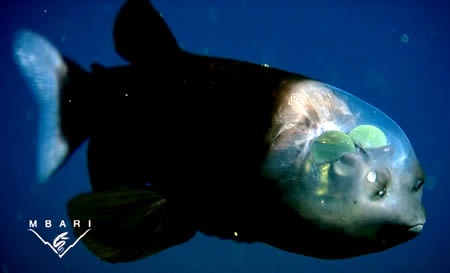 2. Transparent Head Fish This bizarre deep-water fish called the Barreleye (Macropinna microstoma) has a transparent head and tubular eyes. It has extremely light-sensitive eyes that can rotate within his transparent, fluid-filled shield on its head,