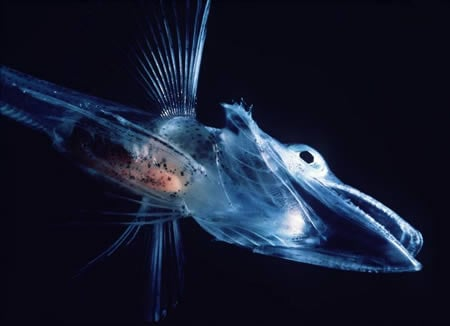 6. Transparent Ice fish Fund in the cold waters around Antarctica and southern South America, the crocodile icefish (Channichthyidae) feed on krill, copepods, and other fish. Their blood is transparent because they have no hemoglobin and/or only defu