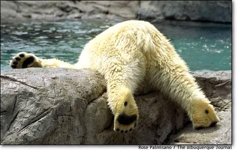 17.Un-bear-able heat Koluk the polar bear goes headfirst into the pool at the Albuquerque Rio Grande Zoo in Albuquerque, N.M.