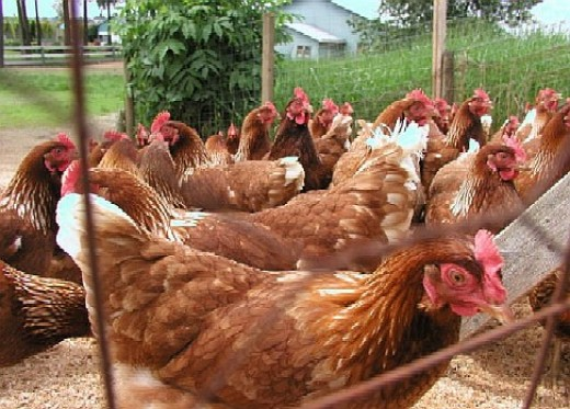 In the developed world of the US, Canada and Europe, many people eat eggs and chicken. It takes about ten times as much land to feed people chicke than it does grain.