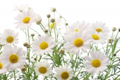 The Benefits of Chamomile Oil