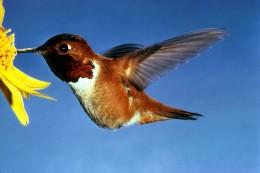 The fiesty Rufous Hummingbird    Public domain