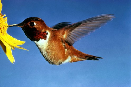 The fiesty Rufous Hummingbird    Public domain
