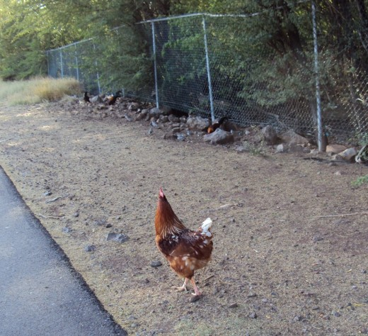 This guy dashes across the street to greet the chicken lady if she doesn't cross the road quickly enough.