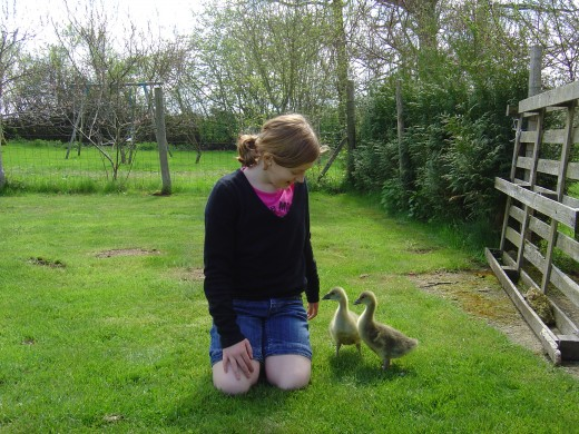 Children adore our small farm animals. Sadly, pressure of work (we are more busy with every year) means that we haven't been able to keep the geese. Also, although we love them some of the guests were not so keen.