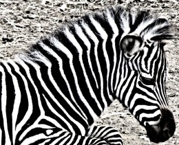 A zebra at the Fasano ZooSafari
