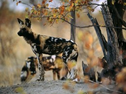 African wild dog Michael Steele