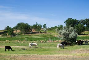 Cattle in a field by a country road near Delta, Colorado