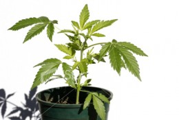 "This is a ""domestic"" version of a marijuana plant that sometimes is grown hydroponically."