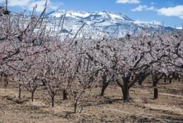 Orchard and the snowy Grand Mesa (all photos by Linda Armstrong