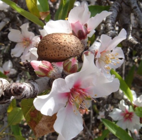 Almond Tree In Bloom ~ Photo credit: Steve Andrews (Bard of Ely)