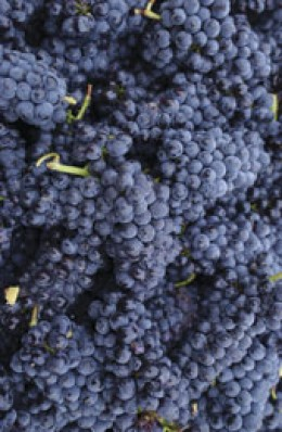Grapes, the source of Grape Seed Extract, a polyphenol rich antioxidant