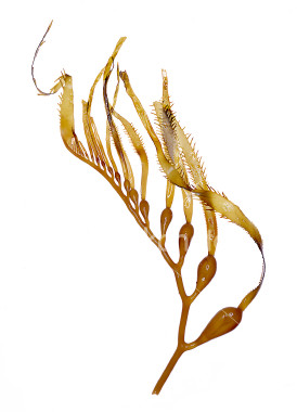 Kelp and other sea weeds are a good source of trace minerals that we all require for good nutrition.