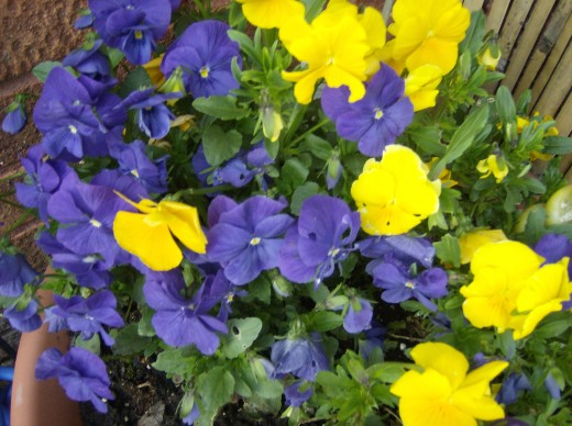 Yellow and purple pansies in the garden.
