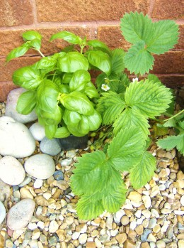 Strawberry plant and basil.