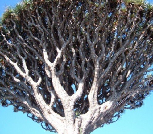 Head of a Dragon Tree