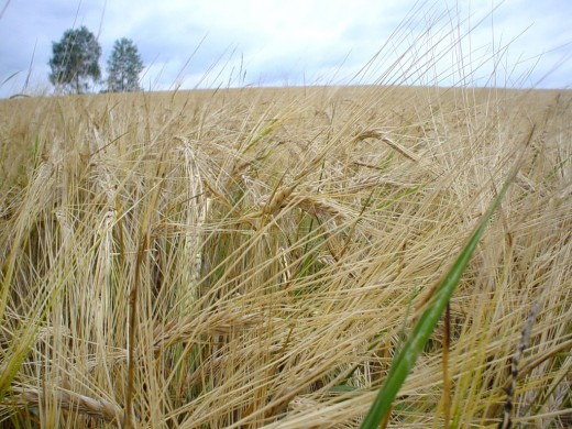 Rye is a grain which grows in colder climates and is very popular in Northern Europe