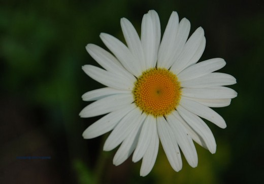 The simple look of the daisy is a sign of the coming summer season.