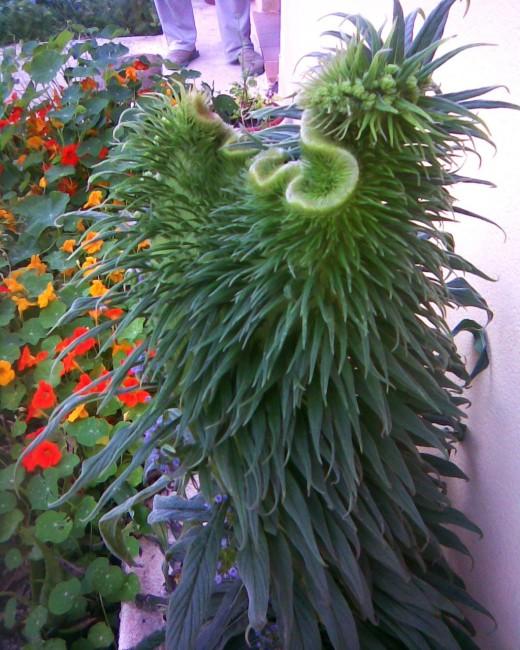fasciated echium pininana