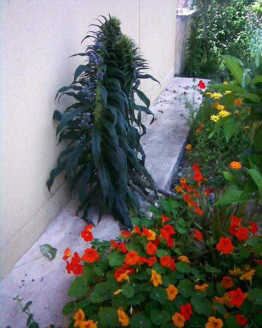 fasciated echium and nasturtium