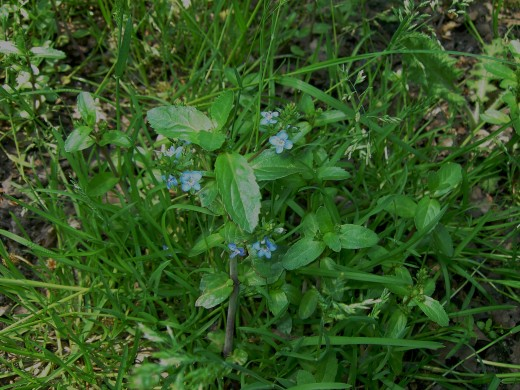 The plant also grows in muddy areas away from water. Photograph by D.A.L.