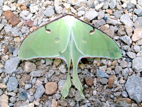 The beautiful green moth we saw while we were at the Bean Palace.