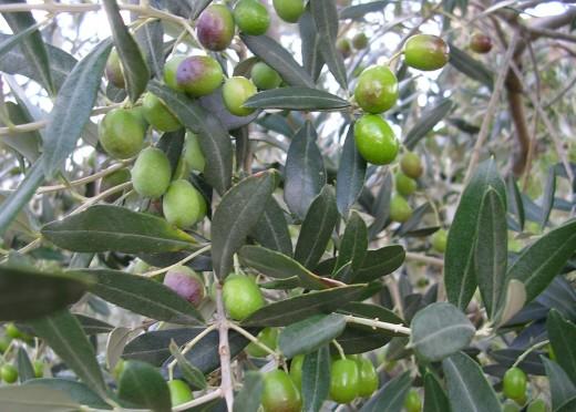 healing power of olive oil olive leaf and olive flower. Black Bedroom Furniture Sets. Home Design Ideas