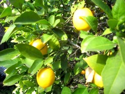 Meyer lemon trees will produce fruit throughout the year / Photo by E. A. Wright