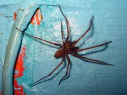 House spiders can grow very large.