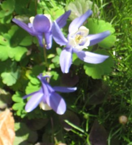 photo: a blue and white aquilegia flower - a very petite variety.