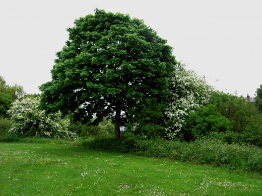 This sycamore is a fairly young specimen probably 30-50 years old. notice the domed canopy. Photograph by D.A.L.