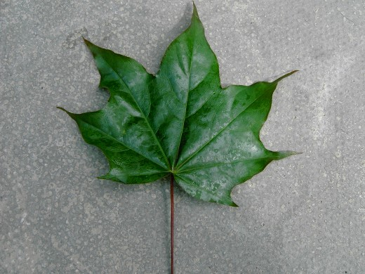 The foliage of the ornamental maple tree has much sharper tips to the lobes. Photograph by D.A.L.