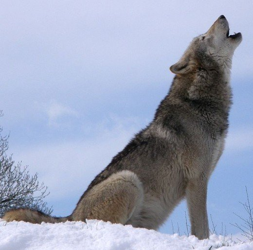 Howling adult wolf
