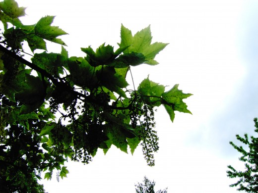 The pendulous flowers of the sycamore are important to bees.Photograph by D.A.L.