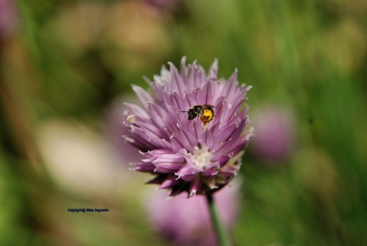 A small bee searches a chive flower.