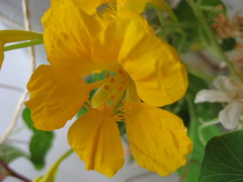 Yellow nasturtium flower / Photo by E. A. Wright