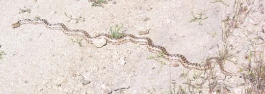 Same Silverwood snake/2010.