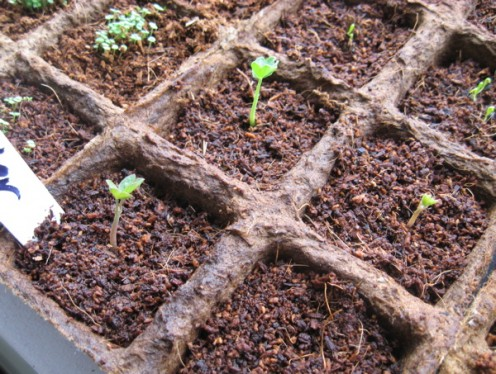 Sprouting herbs / Photo by E. A. Wright