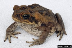 This Cane Toad displays his attractive side. (Courtesy of invasive.org)