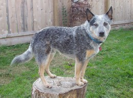 Blue Heeler by tasker