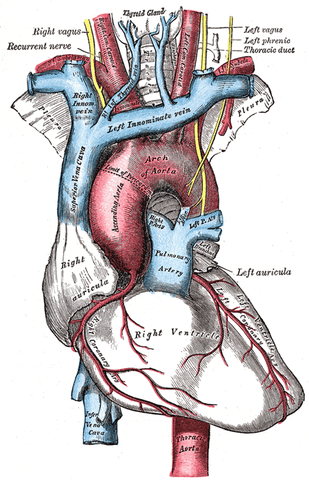 Structure and blood vessels of the human heart