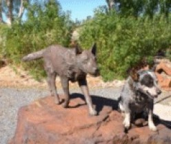 Red Dog Wanderer from the Pilbara