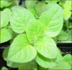 The Benefits of Oregano Oil for Natural Beauty
