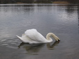One of many swans - Whitlingham Country Park, Norwich