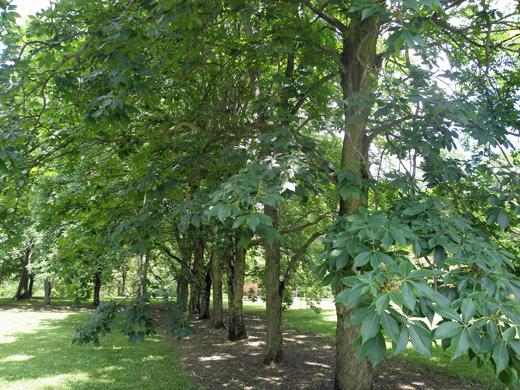 Grove of Buckeye Trees