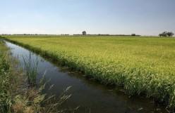 10 Unique Types of Australian Rice