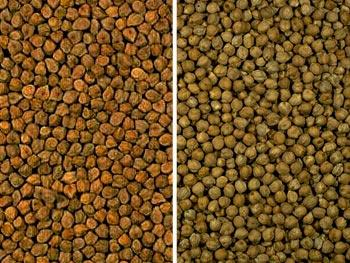 Two varieties of garbanzo beans.